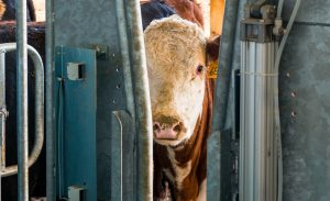 New Purebred Beef Unit Facility to K-State